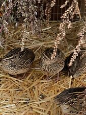 24 Mixed  Japanese Coturnix Quail Hatching Eggs   organic high fertility