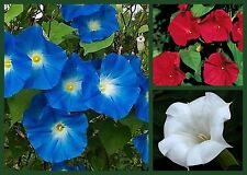 Morning Glory Seeds, Red, White & Blue 3 Pack Special, Non-Gmo, Fast Growing