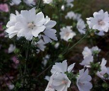 6 MALVA MOSCHATA ALBA MEDIUM PLUG PLANTS - HARDY PERENNIAL