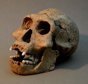 "Dmanisi Skull 3 Replica ""Economy"""