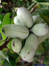 4 graines d'ASIMINIER DE VIRGINIE (Asimina Triloba)G144 PAW PAW SEEDS SAMEN SEMI