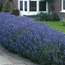 Lavender- Munstead- 50 Seeds
