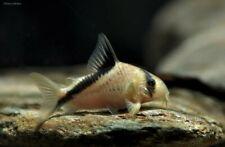 Bandit Cory aka Meta River Cory Catfish (Corydora metae) Live Freshwater Fish