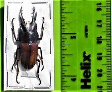 Stag Beetle Prosopocoilus bruijni rufulus Male FAST SHIP FROM USA
