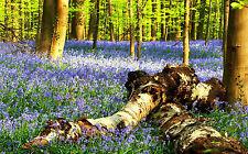 Superba BLUEBELL legno paesaggio #40 qualità foto su tela Wall Art A1