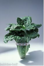 Lettuce Black Seeded Simpson 500+ Heirloom Seed Non GMO Non Hybrid Lot Vegetable