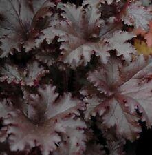 BLACK TAFFETA Heuchera decorative colourful ruffled foliage plant in 140mm pot