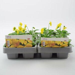Viola Yellow 2 x 6 packs (12 Plants)