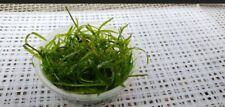 Live Guppy Grass (3 soufflé Cups full) Najas grass aquarium Floating plants Sale