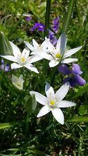 20 Star of Bethlehem flower bulbs