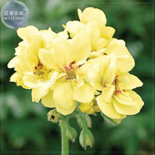 10 Geranium Seed 'Golden Apple blossom' Flowers Yellow Orange Pelargonium Garden