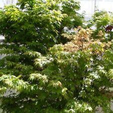 Acer palmatum pot 4 litres 60/80 cm érable du japon