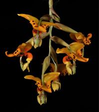 Stanhopea posadae species orchid plant