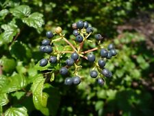 Arrowwood Viburnum dentatum 20 Seeds