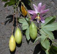 Terrasse Balkon Wintergarten i! Banane-Passions-Frucht !i Kübelpflanze Obstbaum