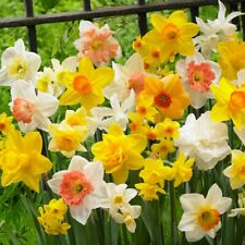 100Pcs Narcissus Flower Seeds Daffodil Double Mix Spring Plant Decor Beautiful