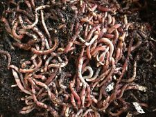 European Nightcrawlers, Coco Coir and Purina Worm Chow- Free Shipping