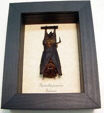 Valentine's Day Gift For Men Taxidermy Bat-Pipistrellus Javanicus Resting B1326