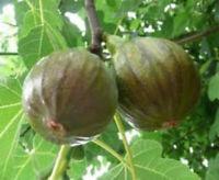 Fig Ficus Tree Olympian Ficus Carica Live Plant 3-Inch Deep Pot Garden