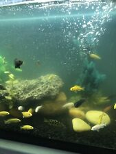 African Cichlids Group Of 4