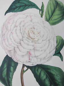 van Houtte: Garden Flowers Camellia de la REine - 1846#
