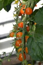 VEGETABLE TOMATO CHERRY SUNGOLD F1 10 FINEST SEEDS