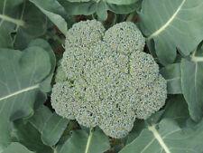 "Waltham 29 Broccoli *Heirloom* (500 Seed's) "" FREE SHIPPING""<Non-GMO>"