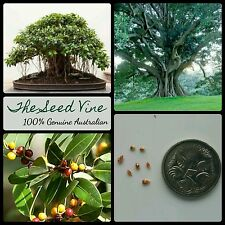10+ SMALL LEAF FIG SEEDS (Ficus obliqua) Native Fruit Birds Shade Bonsai