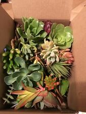 50+ Succulent Cuttings Assorted Varieties Healthy Hearty Beautiful Easy to Grow