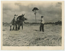 MAN TRAINING HORSES, FIELD, UNUSUAL TREE, VINT 8X10 PHOTO REPRINT