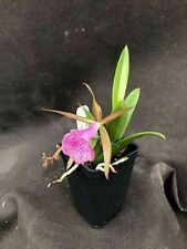 Blc. Gulfshore's Beauty Orchid Plant