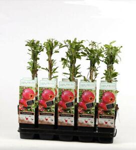 Punica granatum  60-70 cm Granatapfel- Granatapfelbaum - Granatäpfel