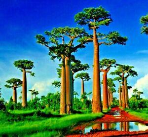 "5 Tropical Exotic African Baobab Prehistoric ""Tree of Life"" Seeds Fruit Bonsai"