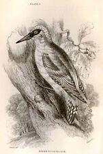 Bechstein's Caged Birds Engraving -1857-  WOODPECKER