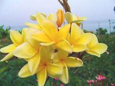 Plumeria Seeds/Flowers/Plants/Atta ckGold/Fresh 50 seeds