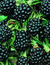 Beautiful  Jumbo Thornless Blackberry Seeds 80 SEEDS --BUY 4 ITEMS FREE SHIPPING