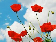 PHOTOGRAPHY NATURE FLOWER POPPY BLUE SKY RED FLOWER CLOUDS POSTER PRINT BMP10386