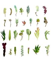 """28 Assorted Succulent Cuttings/ 28 Varieties/ 2""""-7"""" Organic Succulents Free Ship"""