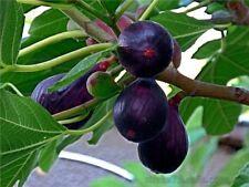 Black Fig Seeds Ficus carica 10 seeds Ukraine garden idea exotic plants gift