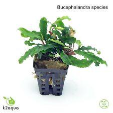 Bucephalandra species Live Aquarium Plants Shrimp & Snail Safe Low Tech EU