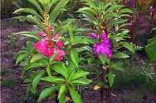 80 garden balsam seeds