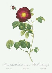 Simple-Flowered French Rose Les Roses by Pierre Joseph Redouté Print Repro