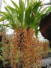 Cymbidium Cricket 'TYabb'  Large 200mm pot 2 spikes Pendulous Orchid