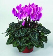 15 Cyclamen Seeds Laser Synchro Purple