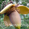 Banana Tree Bonsai Fruit Mini Hainan Plants Musa Dwarf Basjoo NEW 100 PCS Seeds