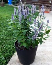 100 Superior LICORICE MINT Agastache Rugosa Korean Tea Herb Purple Flower Seeds