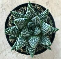 """Tulista Pumila, 'Pearl Plant',  Comes in a 3.5"""" Pot"""