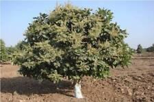 🌲10 graines de  CHIRONJI TREE (Buchanania cochinchinensis) SEEDS SAMEN SEMILLAS