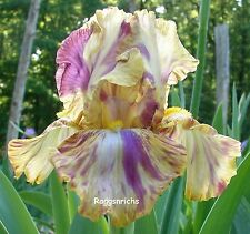 "Tall Bearded ""Autumn Years"" Iris - Streaked & Splashed Novelty Rebloomer '96 *"