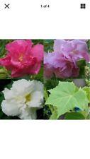"""6 cuttings of Confederate rose,  Hibiscus mutabilis 8"""" in length"""